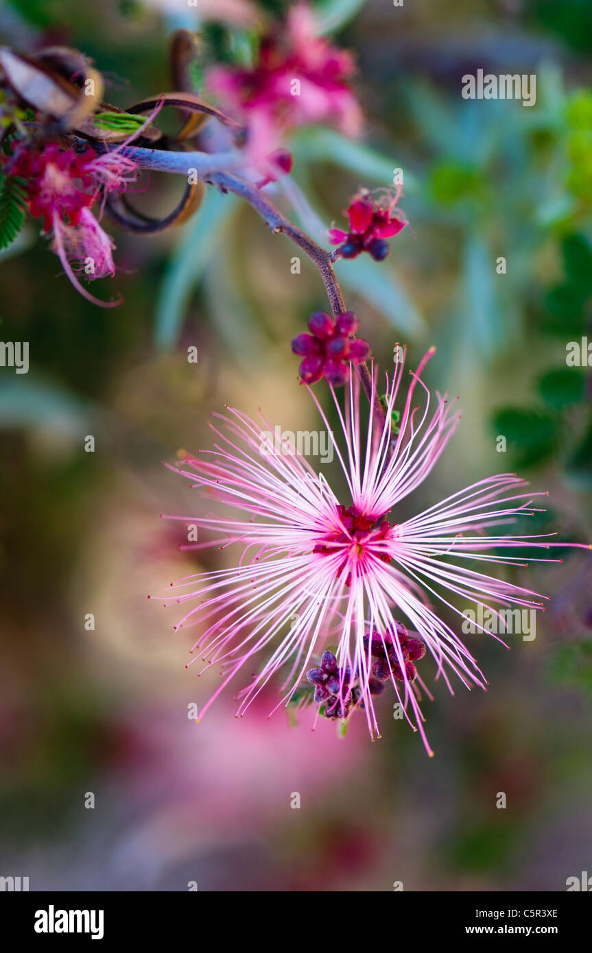 Pink Fairy Duster (Calliandra eriophylla), single flower - Stock Image
