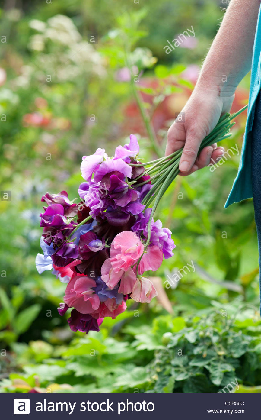Female Gardener holding (Lathyrus odoratus) cut Sweet pea flowers - Stock Image