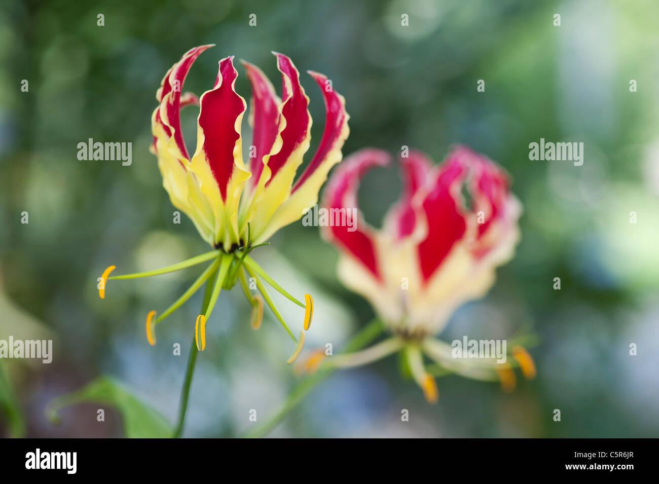 Gloriosa superba 'Rothschildiana'. Glory lily. Flame lily. Gloriosa lily - Stock Image