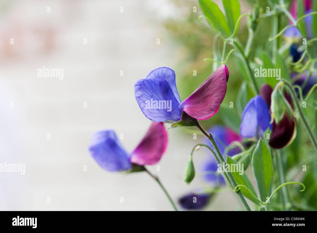 Lathyrus odoratus. Sweet pea Cupani flowers - Stock Image