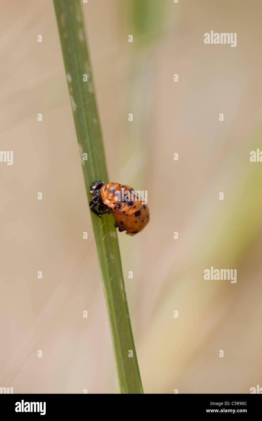Ladybird Pupa on stem - Stock Image