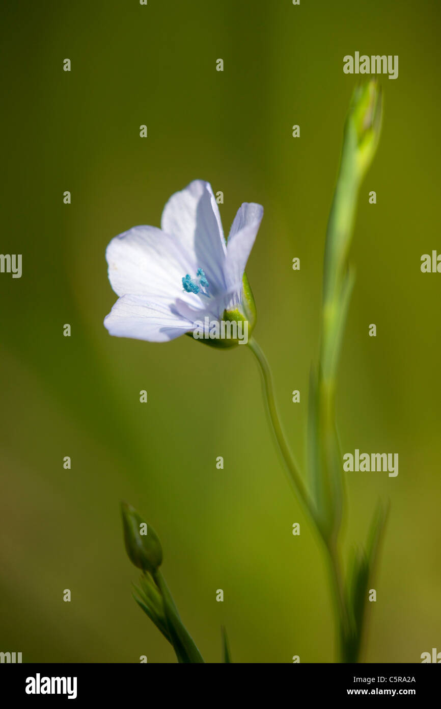 Pale Flax; Linum bienne; Cornwall; UK - Stock Image