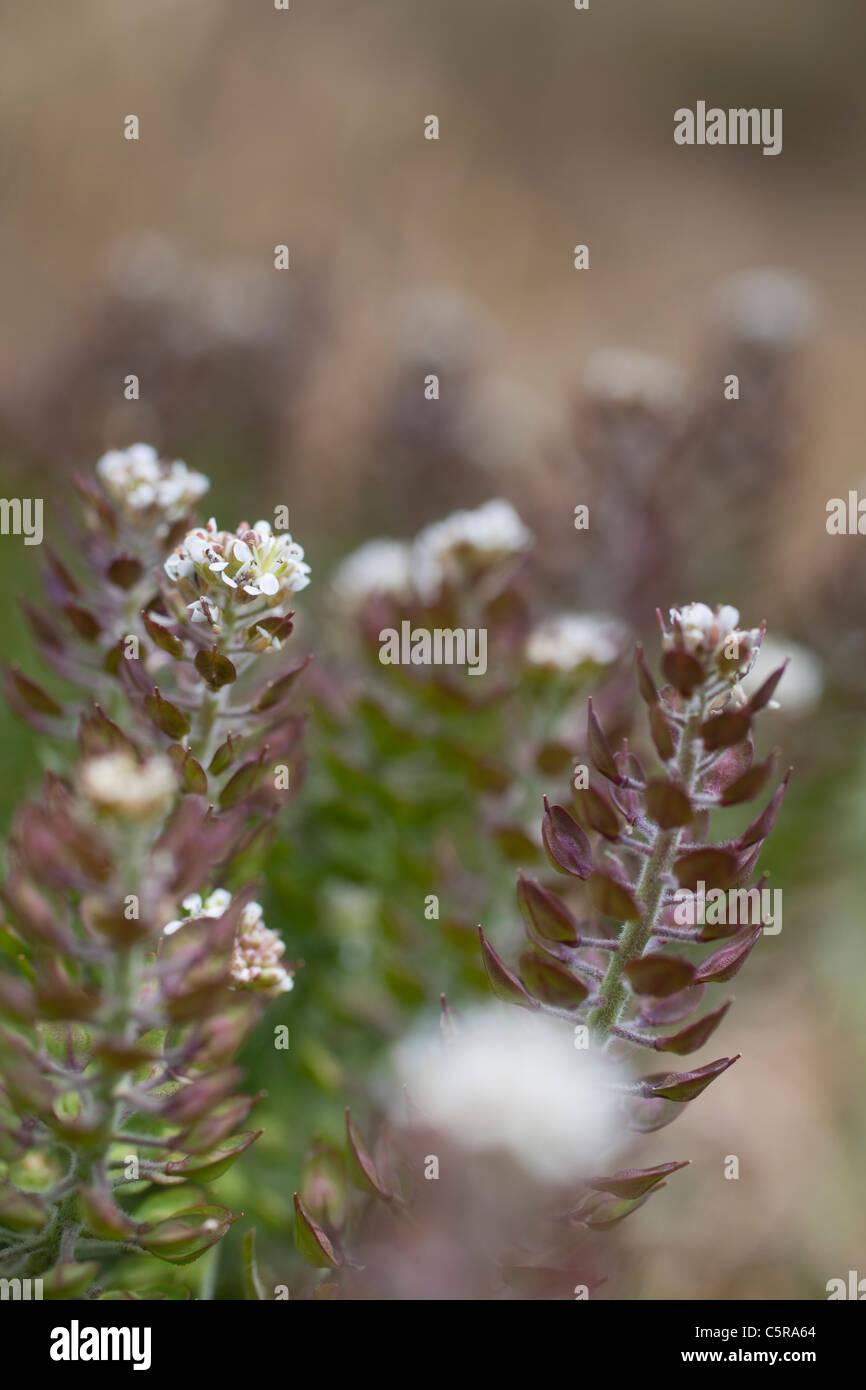 Smith's Pepperwort; Lepidium heterophyllum; Cornwall; UK - Stock Image