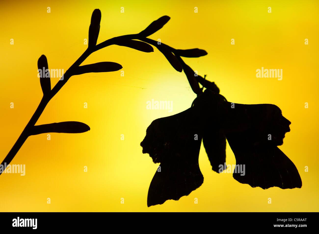 Poplar Hawkmoth; Laothoe populi; at sunset; UK - Stock Image