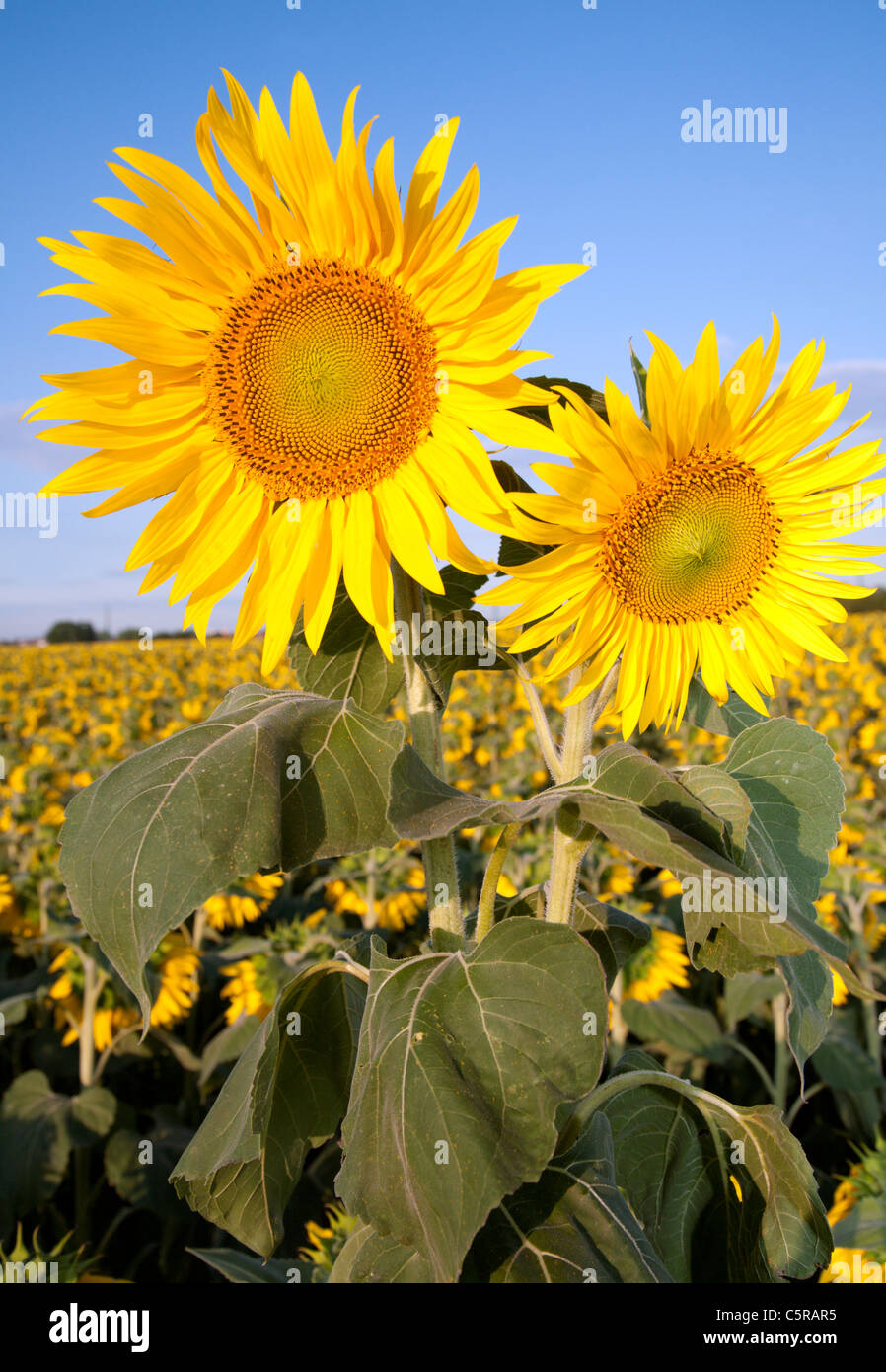 sunflowers and sky - Stock Image