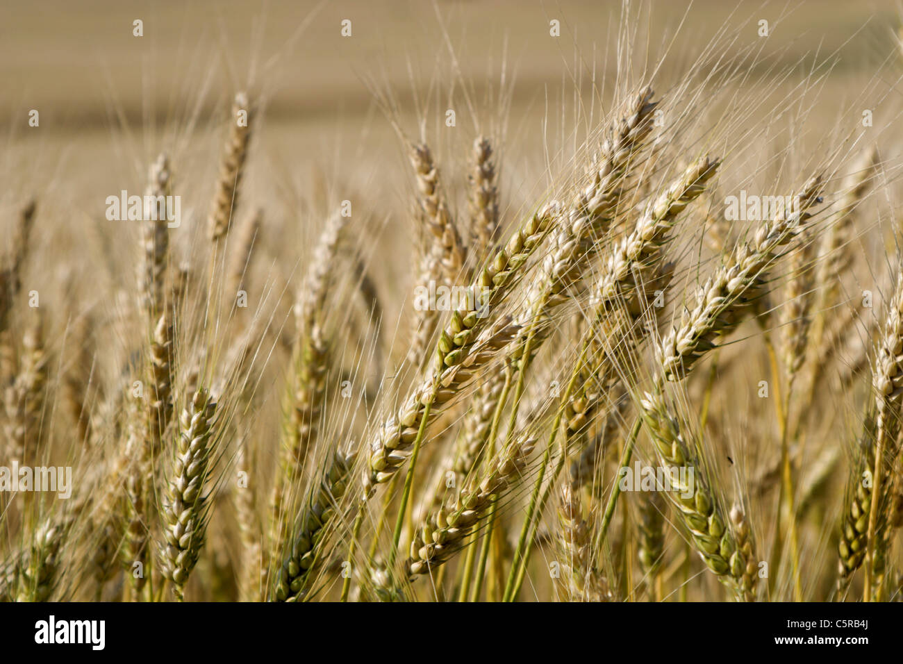 detail of crops for the harvest - Stock Image