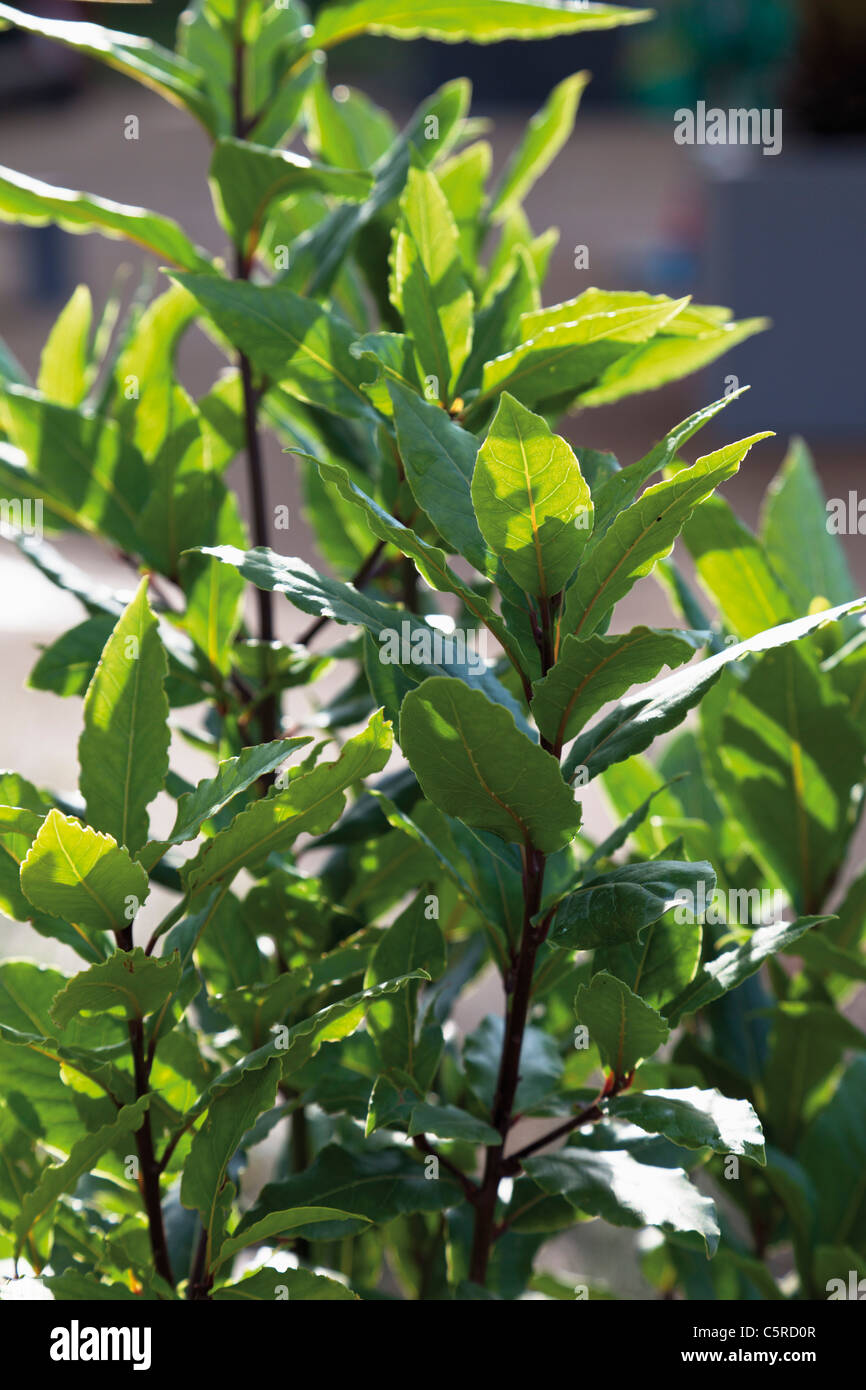 Germany, Close up of bay laurel plant - Stock Image