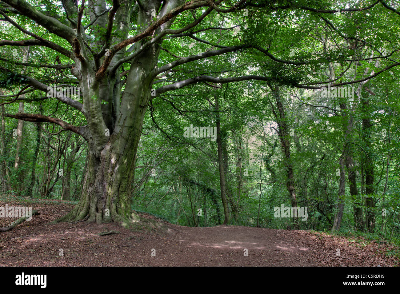 Anston Stones Wood, Nottinghamshire. An ancient woodland and Site of Special Scientific Interest (SSSI) - Stock Image
