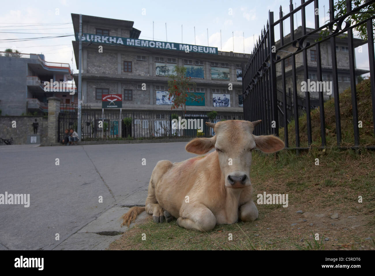 Cow outside the Gurkha Memorial Museum, Pokhara, Nepal - Stock Image