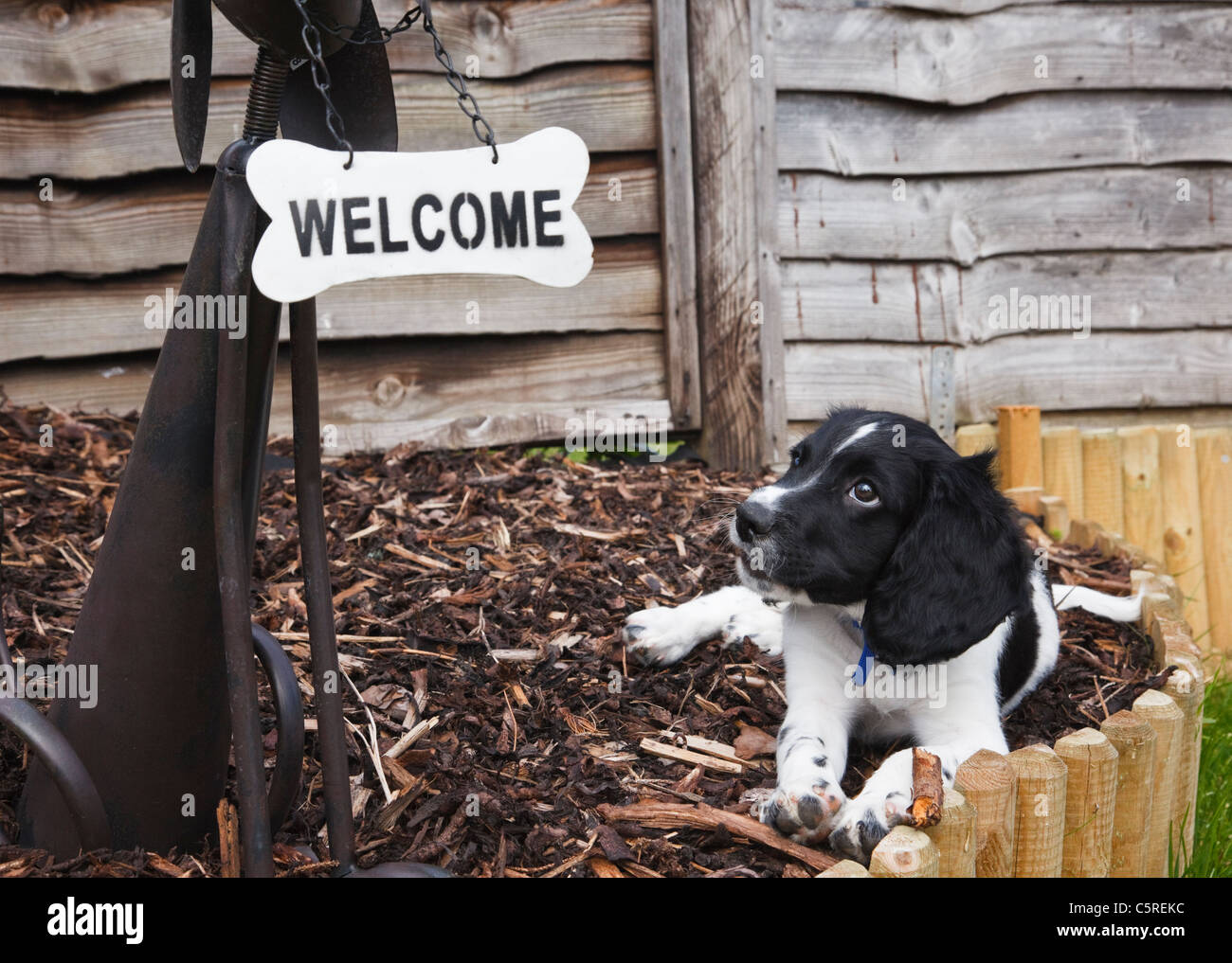 A ten week black and white English Springer Spaniel puppy dog looking up at a welcome sign in the shape of a bone. - Stock Image