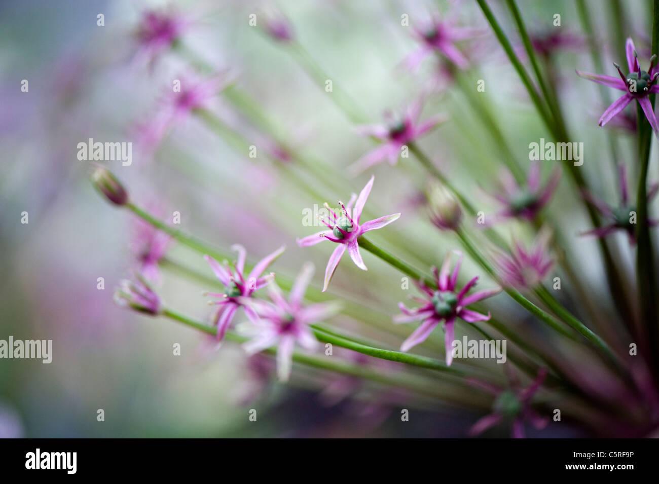 A macro image of Allium Hollandicum 'Purple Sensation'  flower heads - Stock Image