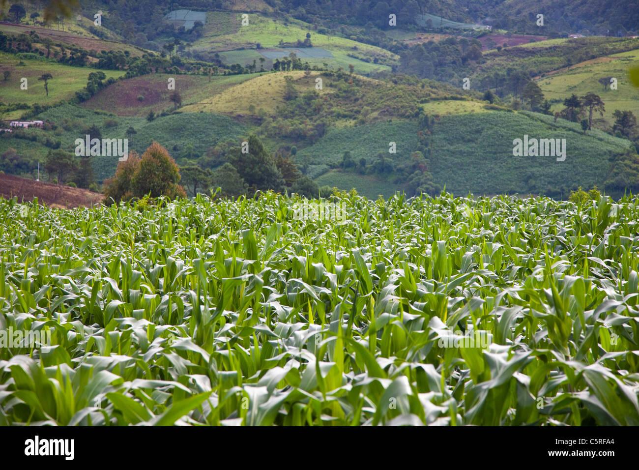 Corn in front of Honduras hills, Canton Las Pilas, San Ignacio, Chaltenango Department, El Salvador - Stock Image