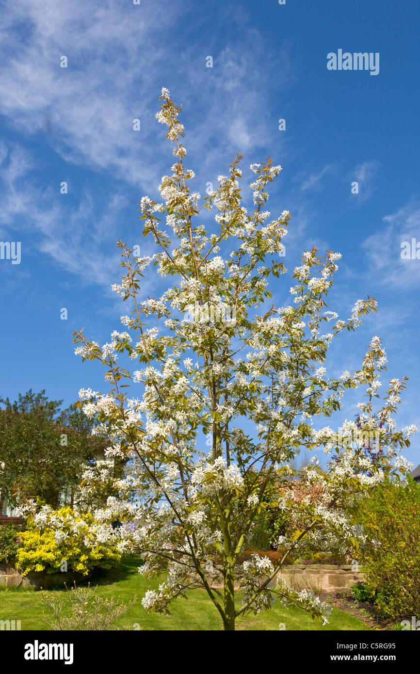 Amelanchier arborea Robin Hill Stock Photo