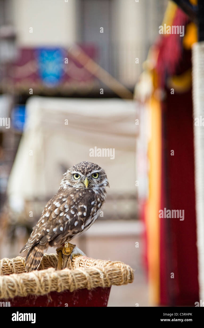 Samll grey owl looking attentive - Stock Image