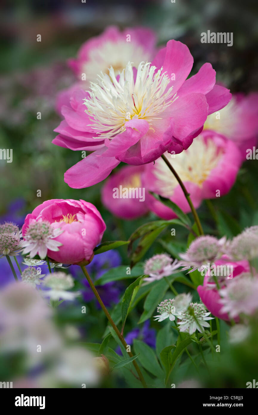 Pretty pink peonies - Paeonia 'Bowl of beauty' - Stock Image