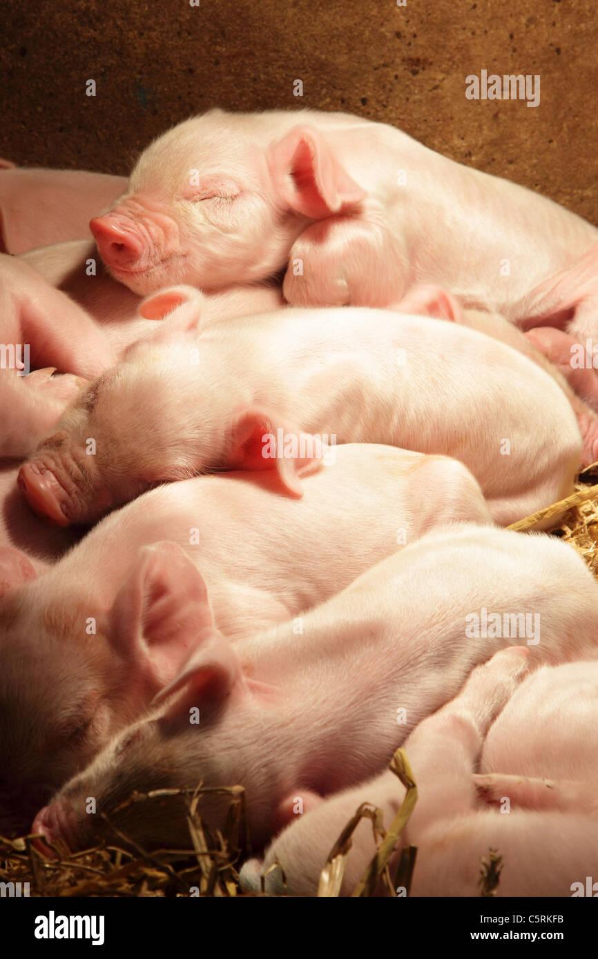 Piglets sleeping - Stock Image