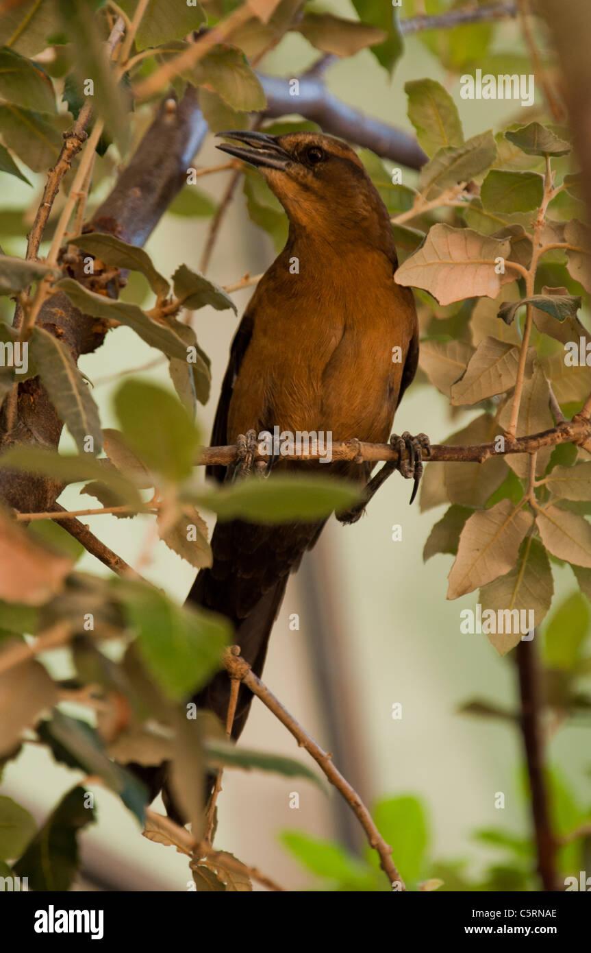 Unknown bird in tree, Las Vegas, Nevada, USA - Stock Image