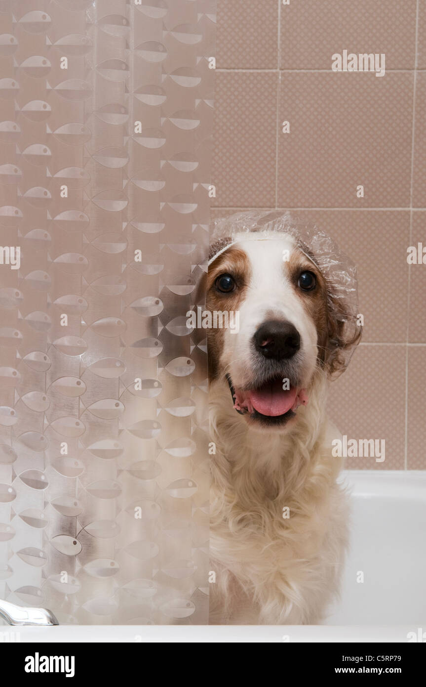 A red and white setter dog wearing a shower cap in a bathtub - Stock Image