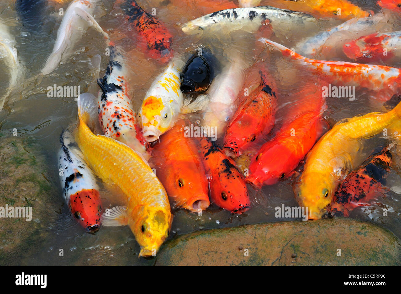 Colored Carp Stock Photos & Colored Carp Stock Images - Alamy