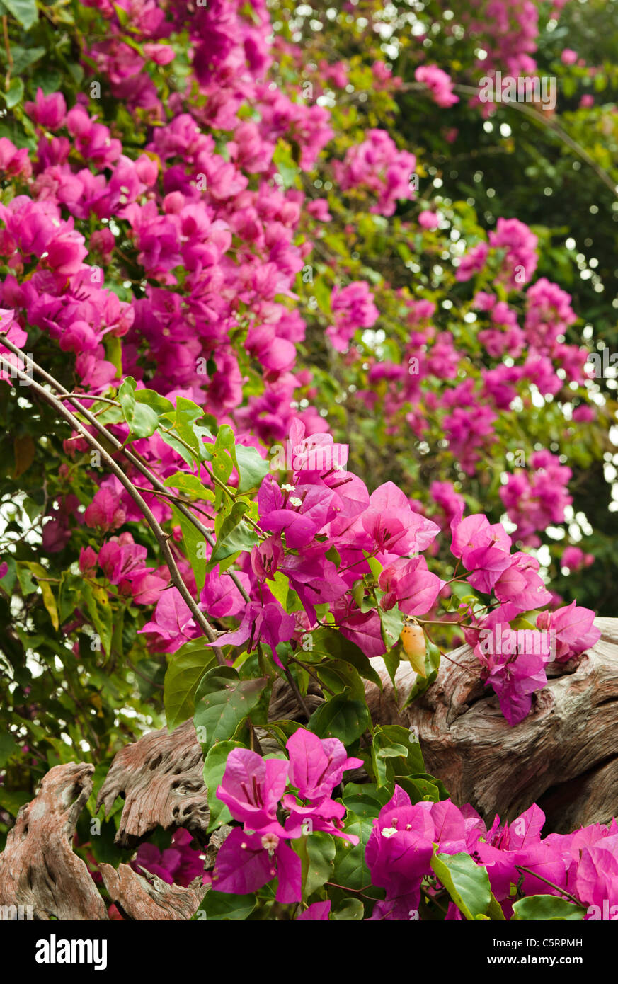 beautiful spray of pink flowers in the garden - Stock Image