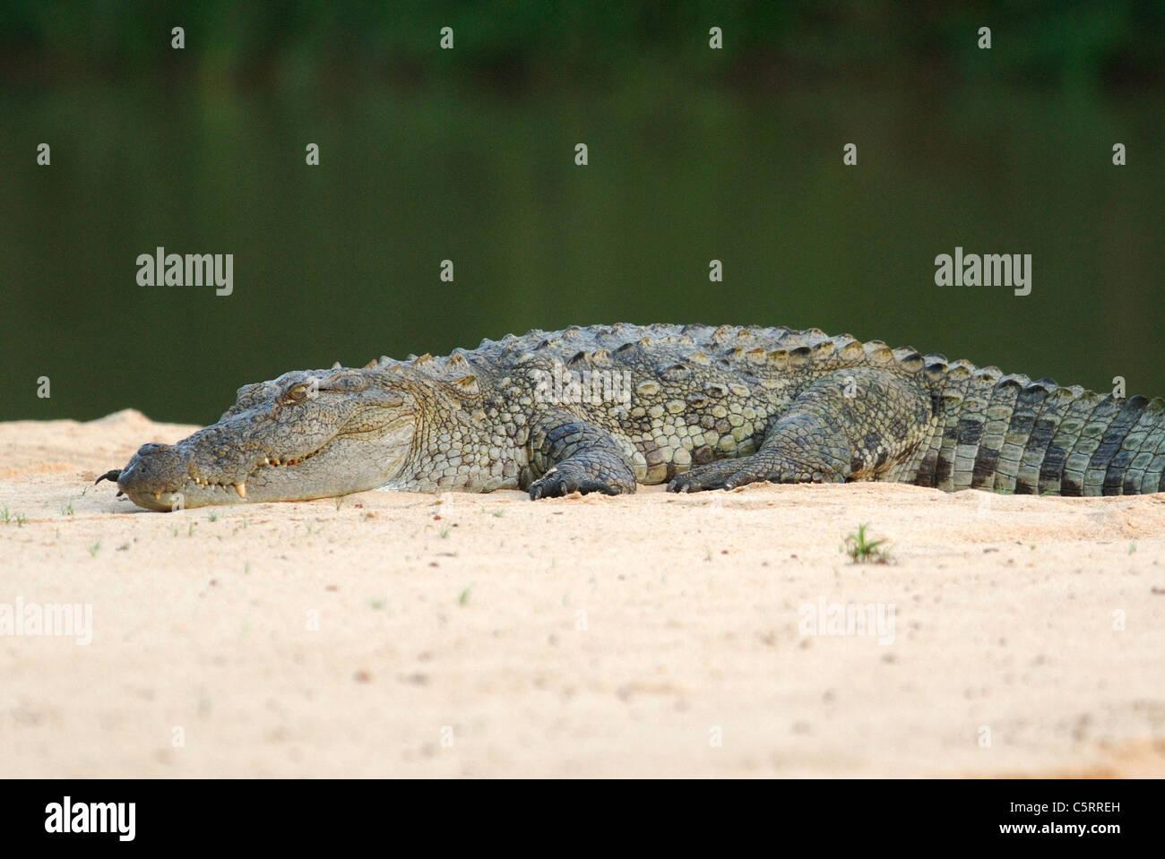 Mugger Crocodile (Crocodylus palustris) aka Marsh Crocodile, in Yala West National Park, Sri Lanka Stock Photo