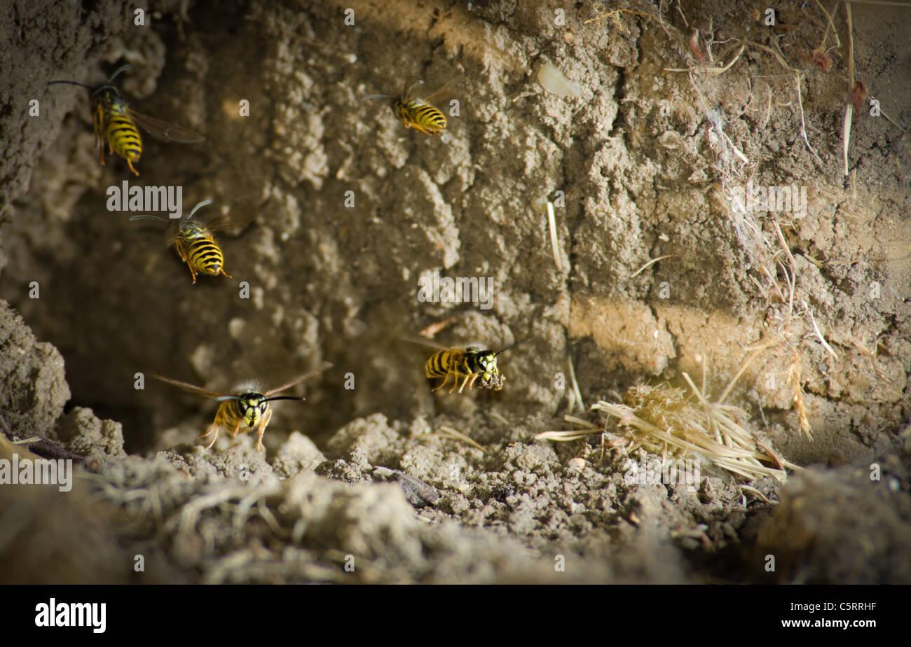 Common Wasps Yellow Jackets (Vespula vulgaris) leaving a ground mud nest - Stock Image