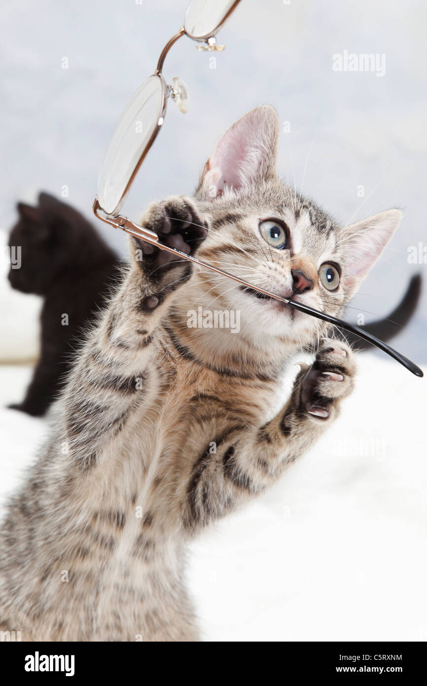 Domestic cat, kitten playing with spectacles - Stock Image