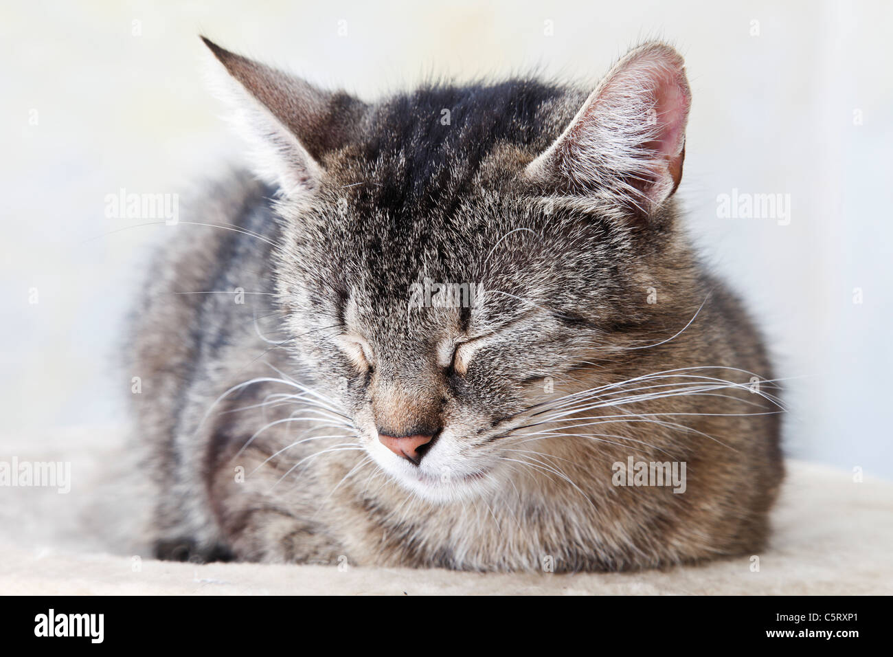 Domestic cat sleeping, portrait, close-up - Stock Image