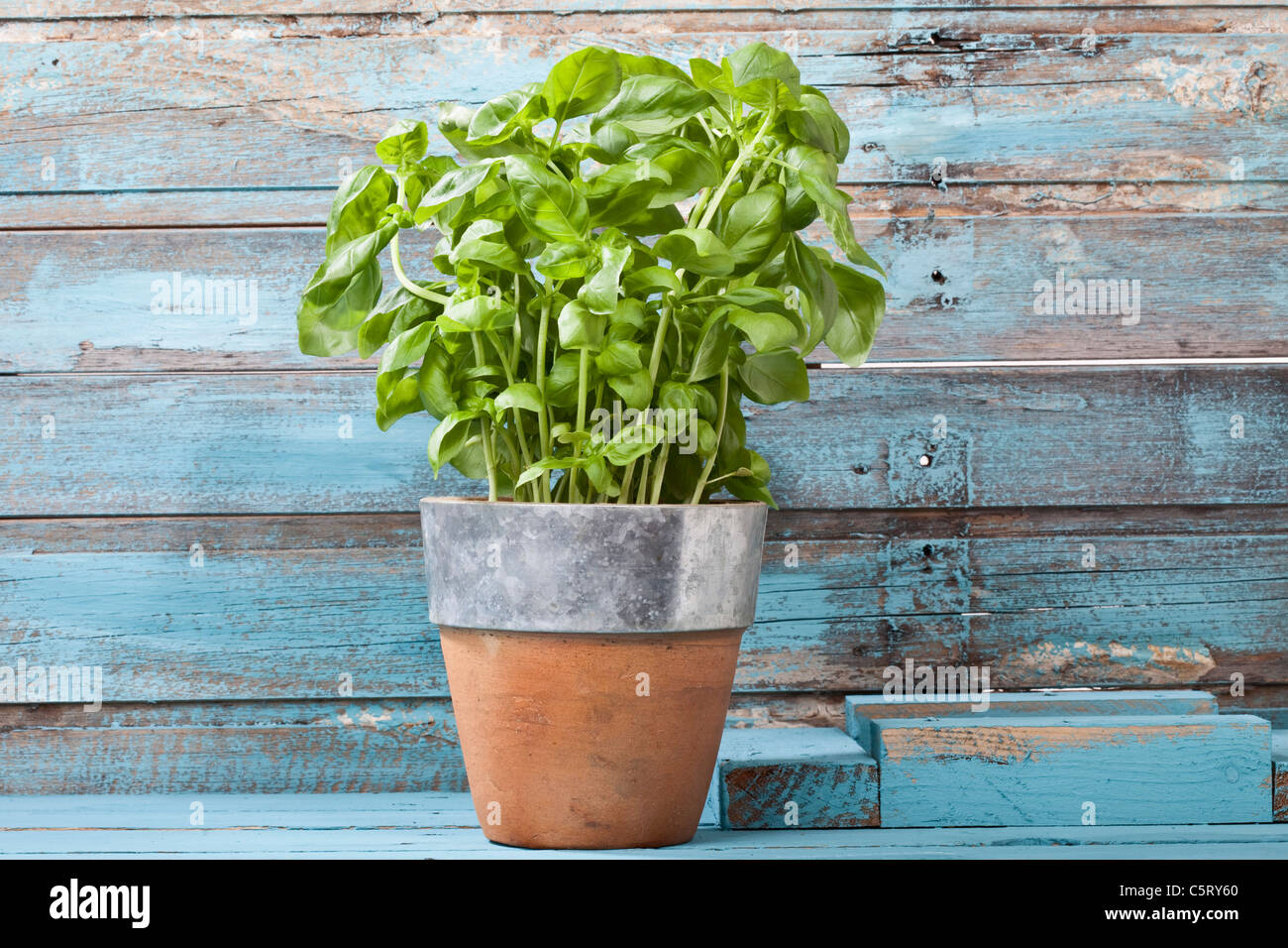 Close up of basil plant in pot - Stock Image