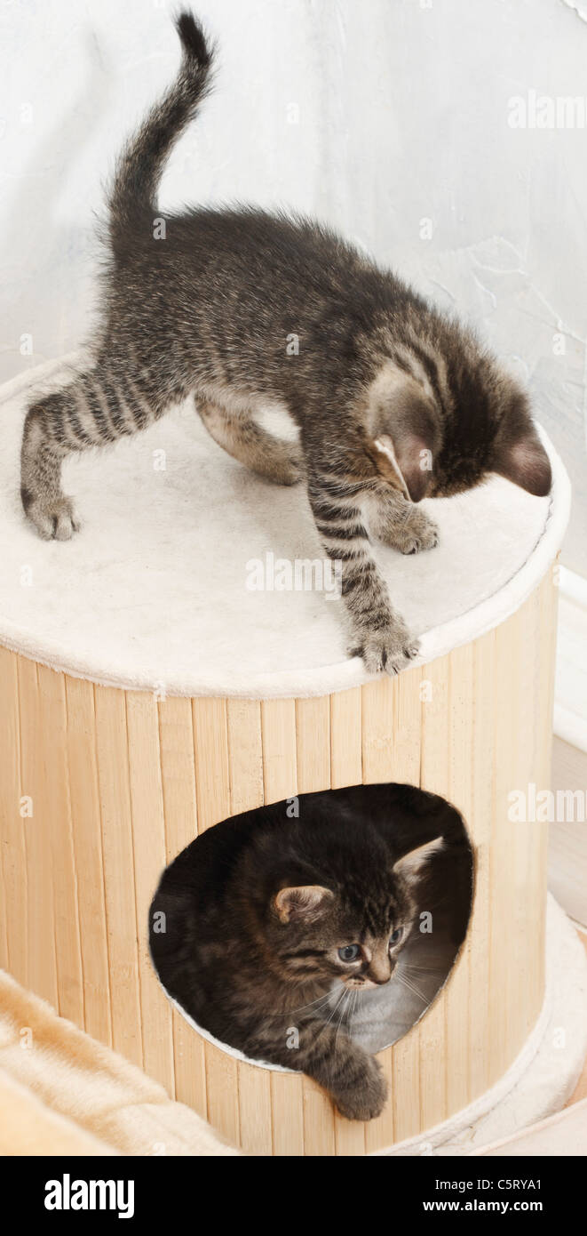 Domestic cats, kittens playing togehter - Stock Image