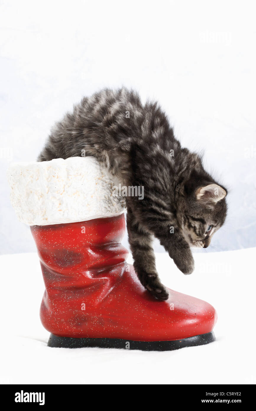 Domestic cat, kitten in santa claus boot, side view - Stock Image