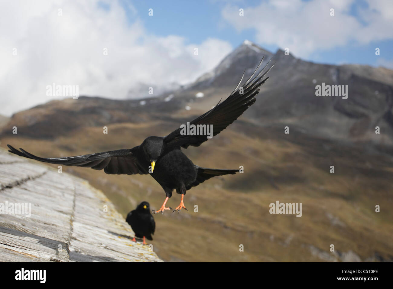 Austria, View of alpine chough flying above roof - Stock Image