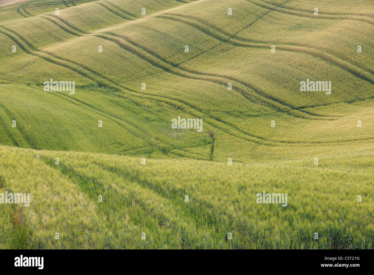 Italy, Tuscany, Province of Siena, Val d'Orcia, Pienza, View of green wheat field with tyre tracks - Stock Image