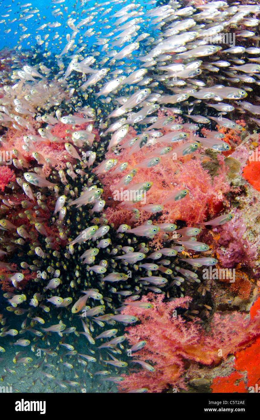 Schooling glass fish, Nuweiba, Sinai, Egypt, Red Sea, Indian Ocean - Stock Image