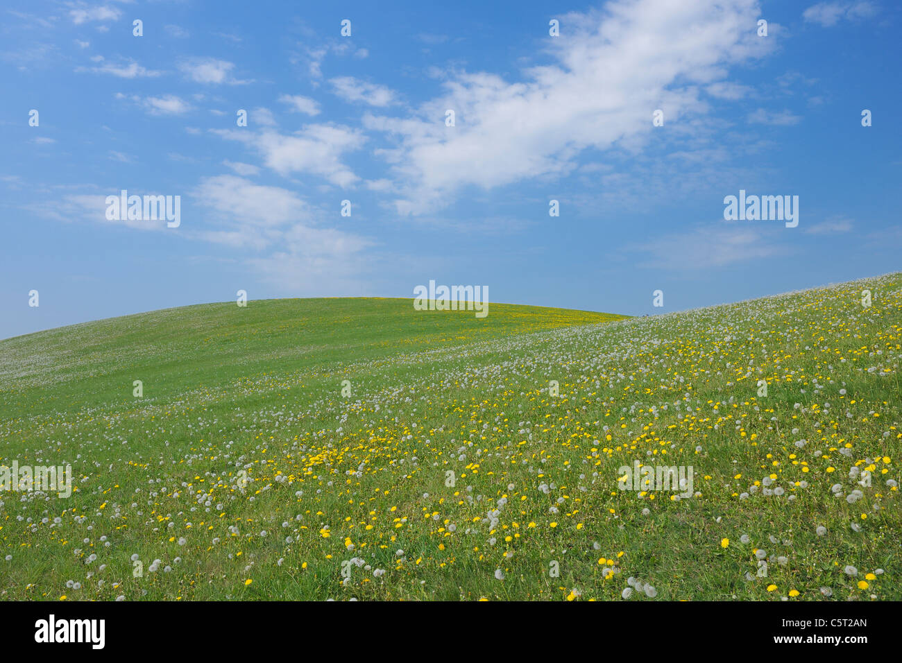 Germany, Mecklenburg-Vorpommern, View of meadow with dandelion field - Stock Image