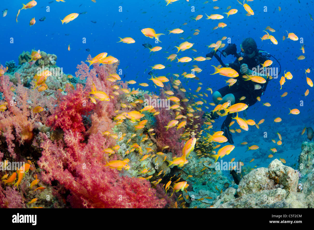 Soft coral patch with schooling Anthia fish and scuba diver, Nuweiba, Sinai, Red Sea, Agypt, Africa - Stock Image