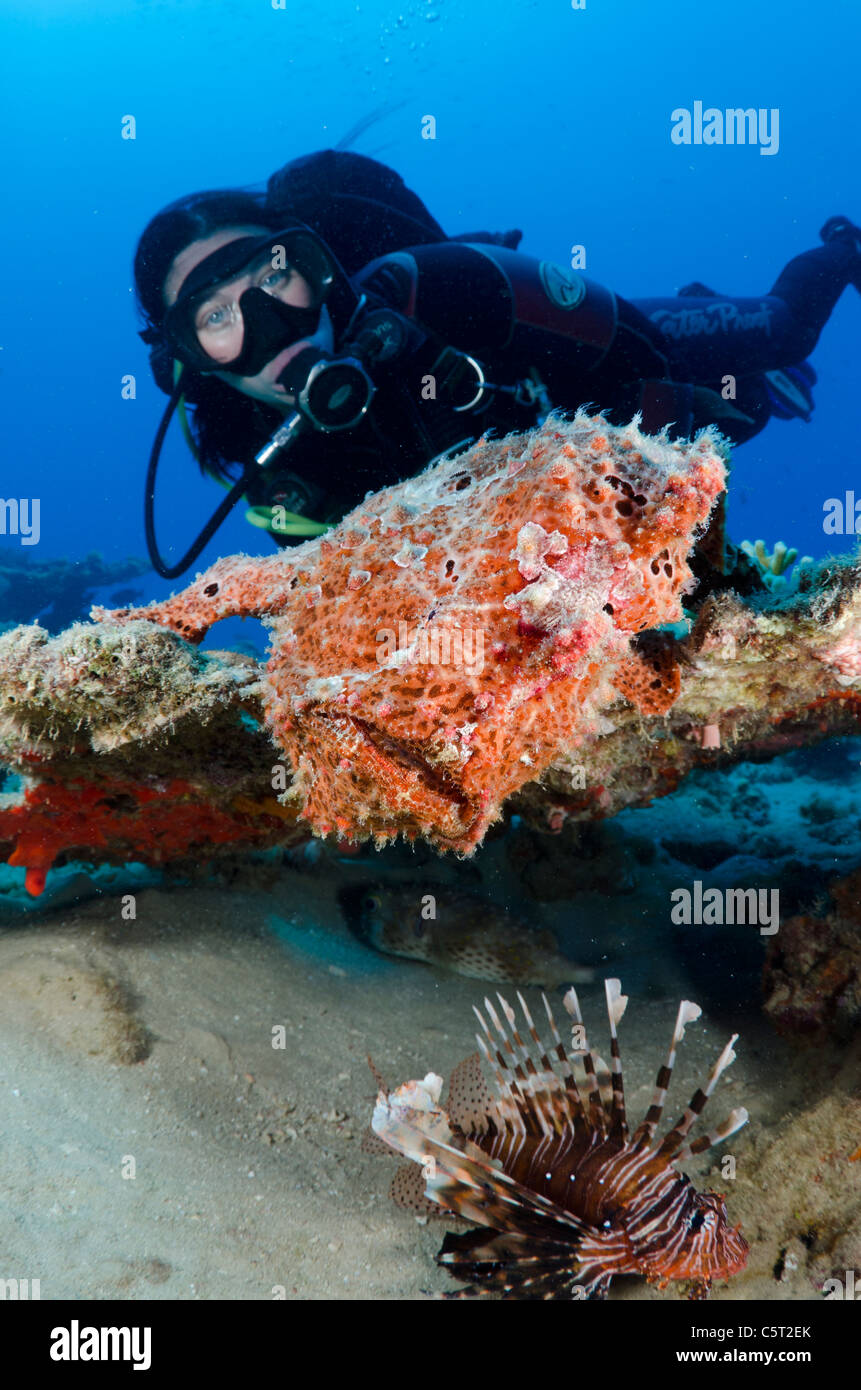 Giant frogfish, Nuweiba, Sinai, Egypt, Red Sea, Indian Ocean Stock Photo