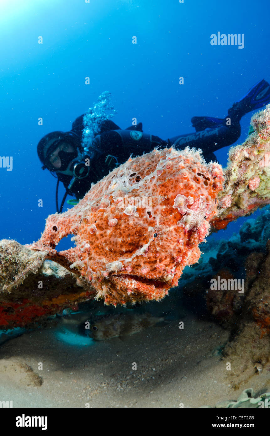 Giant frogfish, Nuweiba, Sinai, Egypt, Red Sea, Indian Ocean - Stock Image