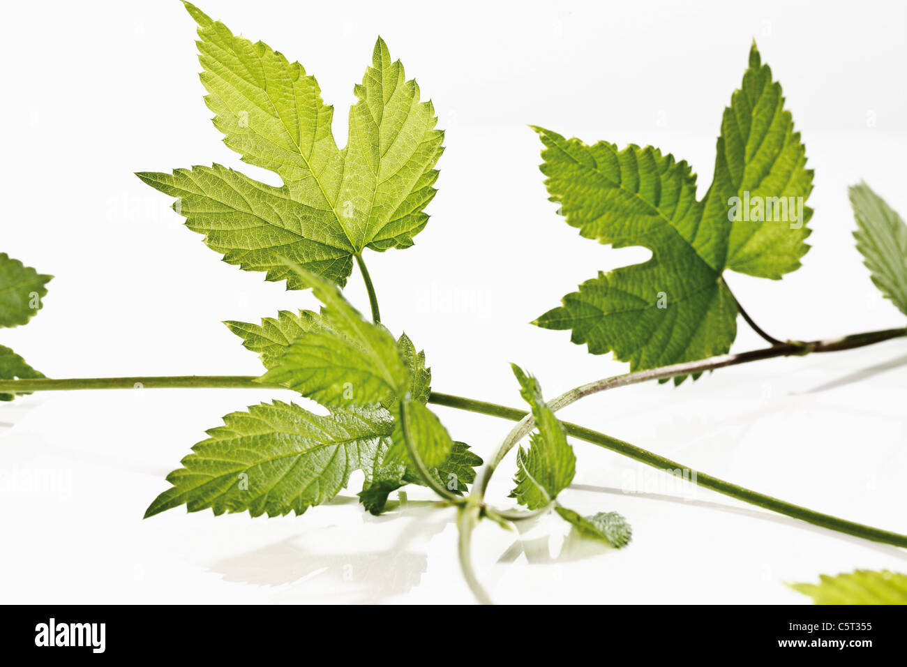 Hop tendril, close-up - Stock Image