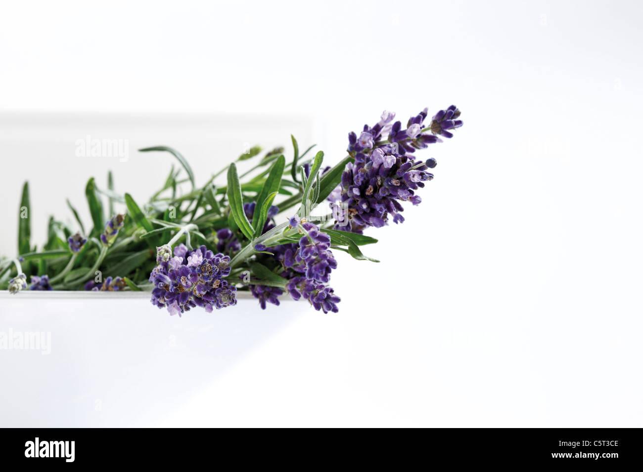 Bunch of lavender (Lavandula angustifolia) - Stock Image