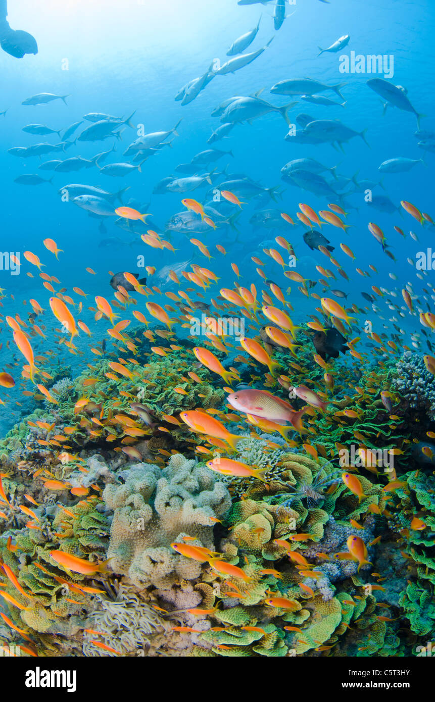 Salad coral with thousands of anthias, Nuweiba, Red Sea, Sinai, Egypt - Stock Image
