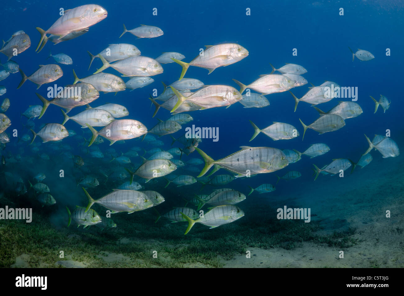 School of jack fish or trevally, Nuweiba, Red Sea, Sinai, Egypt - Stock Image