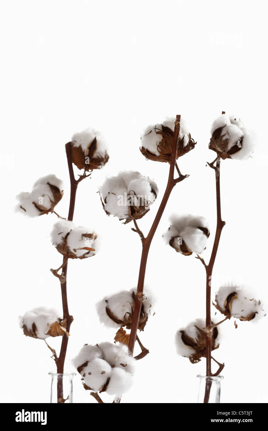 Cotton plant (Gossypium), close-up Stock Photo
