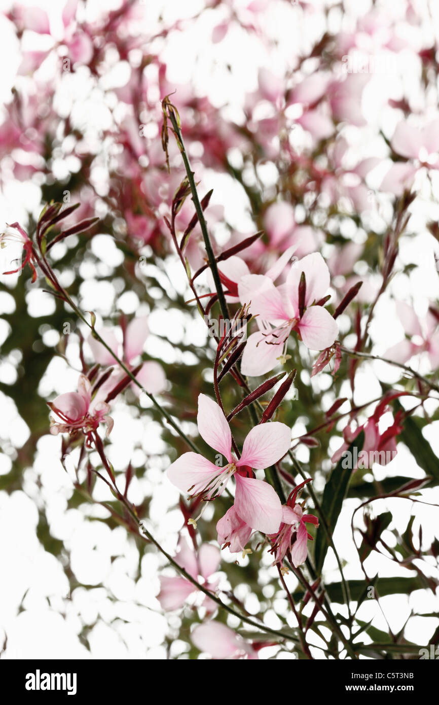 Gaura flowers (Gaura), close-up - Stock Image