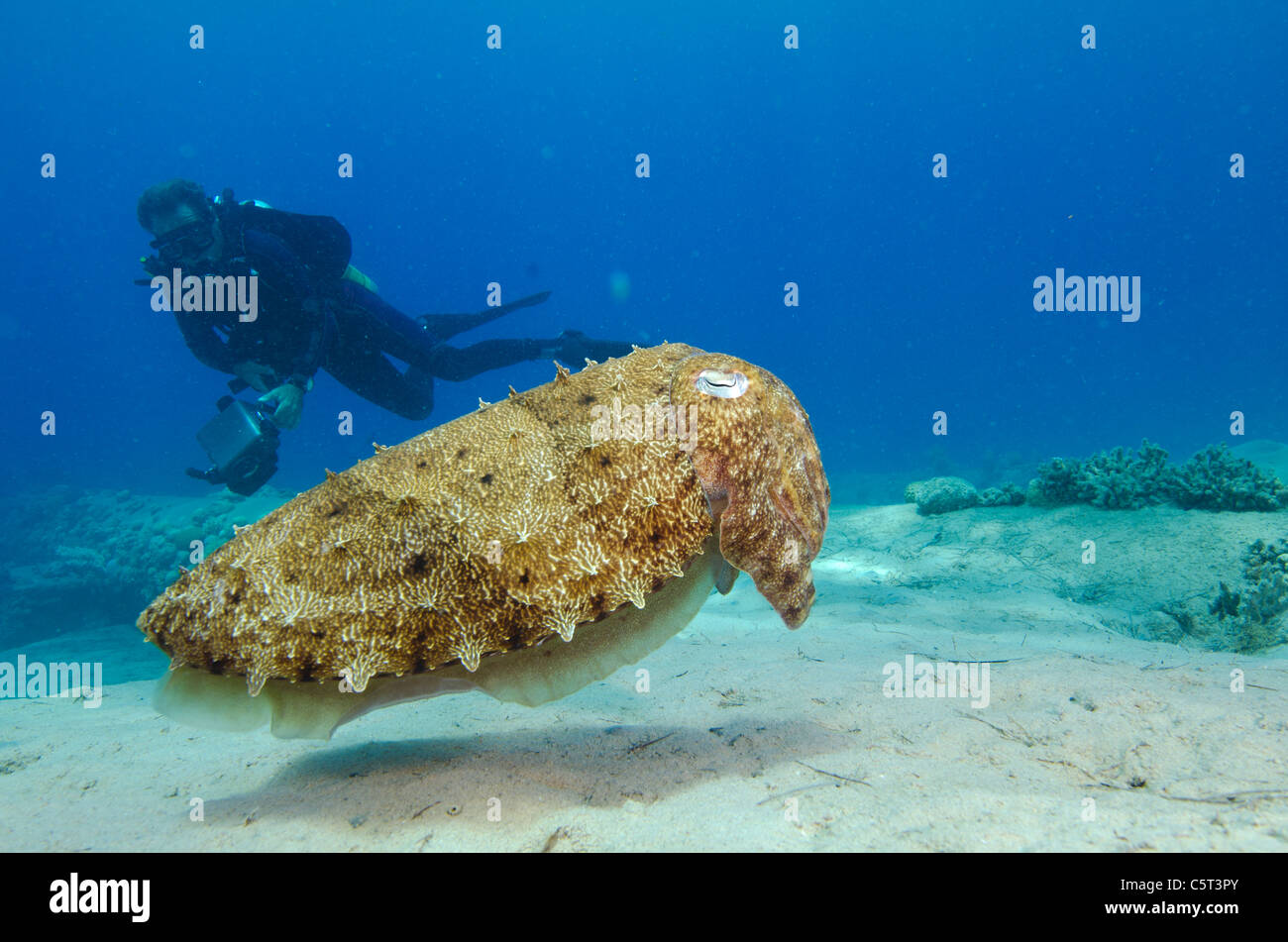 Cuttle fish, Nuweiba, Sinai, Egypt, Red Sea - Stock Image