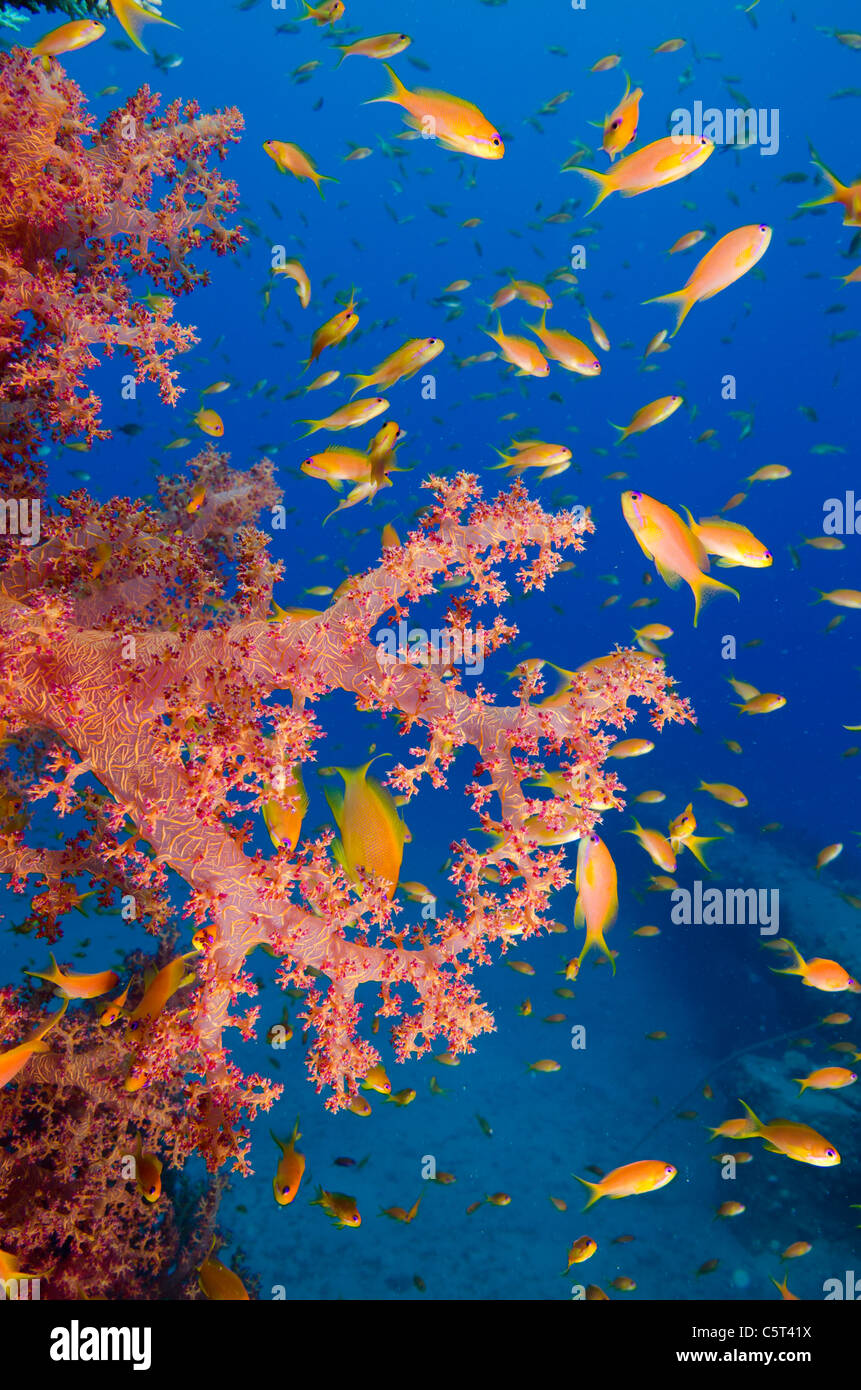 Coral with school of Anthia fish, Nuweiba, Red Sea, Sinai, Egypt - Stock Image