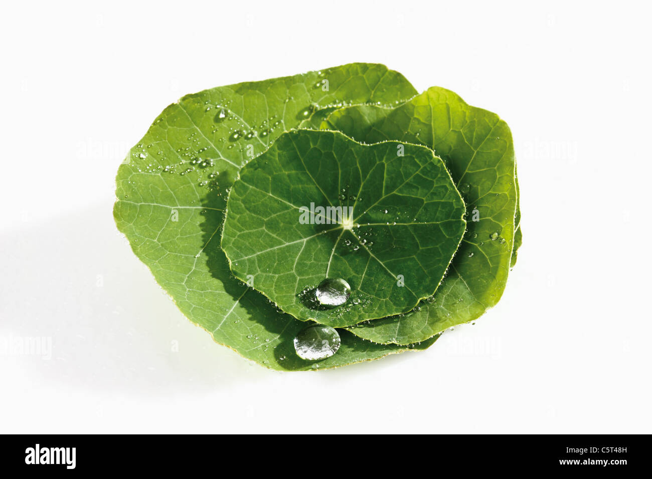Water droplet on top of Nasturtium (Tropaeolum)  leaf - Stock Image