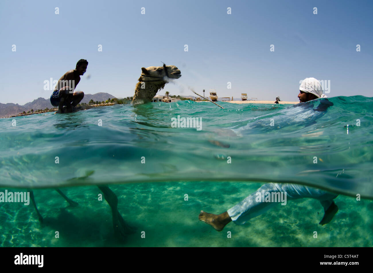 Camel having refreshing bath in Nuweiba, Red Sea, Egypt - Stock Image