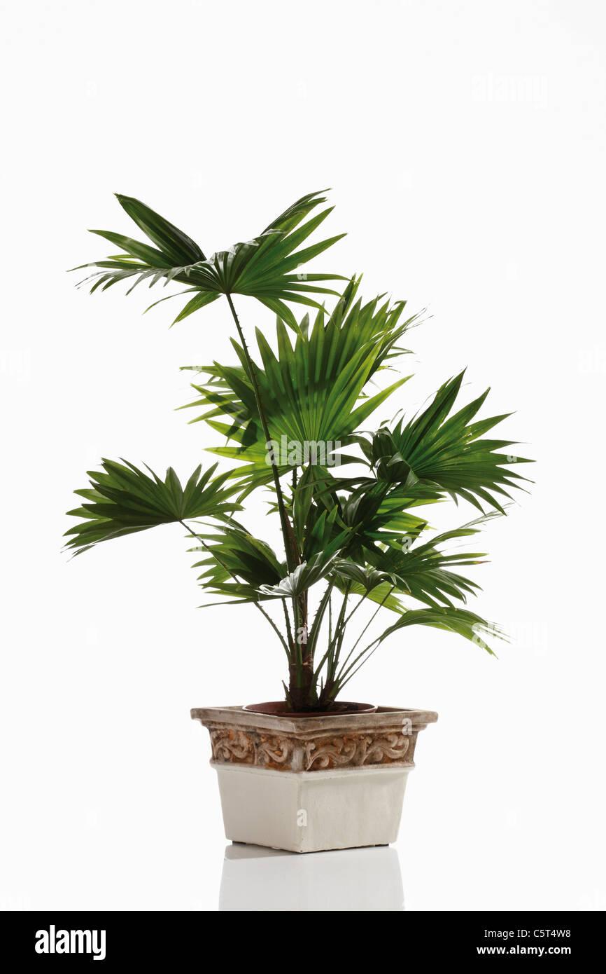 Footstool Palm (Livistona rotundifolia) plant in flower pot - Stock Image