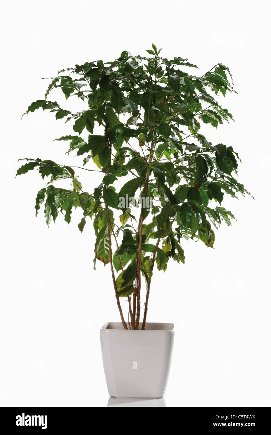 Coffee plant (coffea arabica) in flower pot - Stock Image